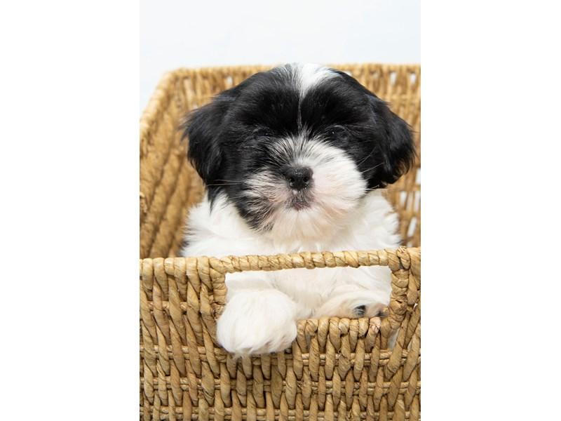 Havashu-Male-White / Black-2330646-My Next Puppy