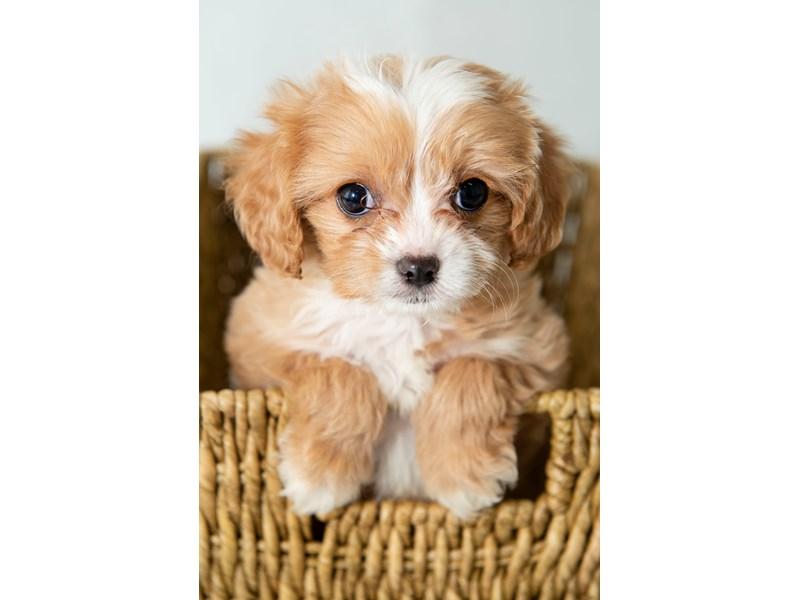Mini Cavapoo-Female-Ruby-2330668-My Next Puppy