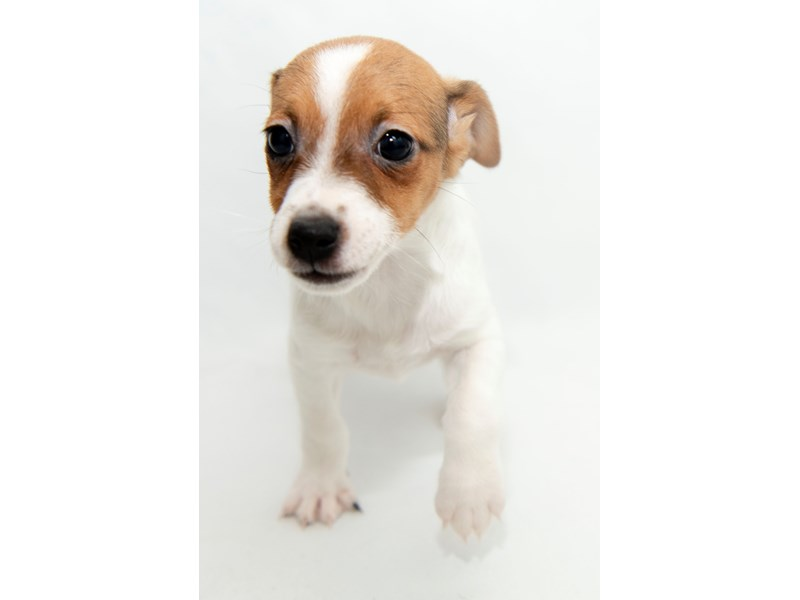 Jack Russell Terrier – Penny