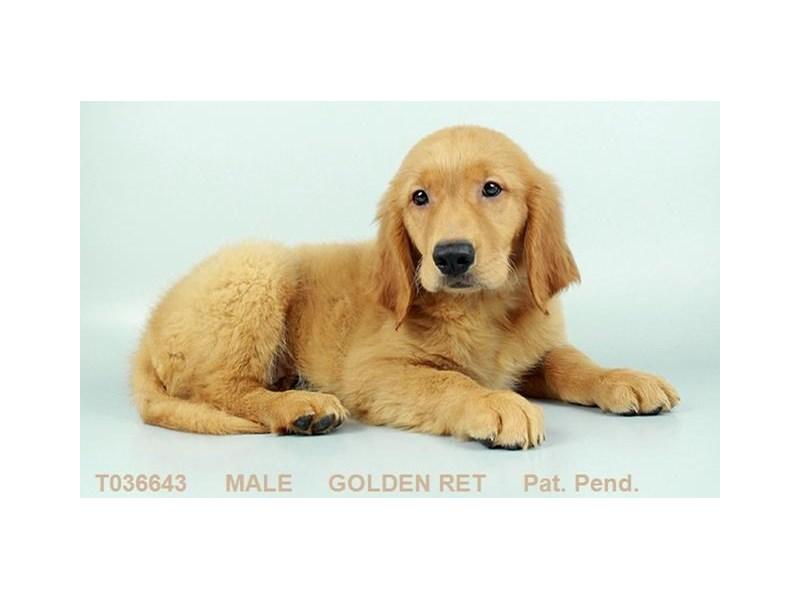 Golden Retriever-Male-GLDN-2335016-My Next Puppy