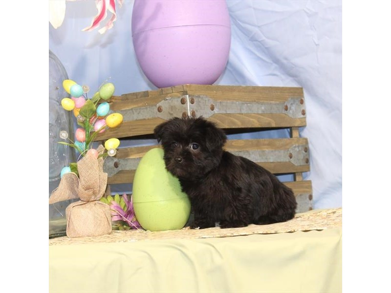 Morkie-Male-Black-2335486-My Next Puppy