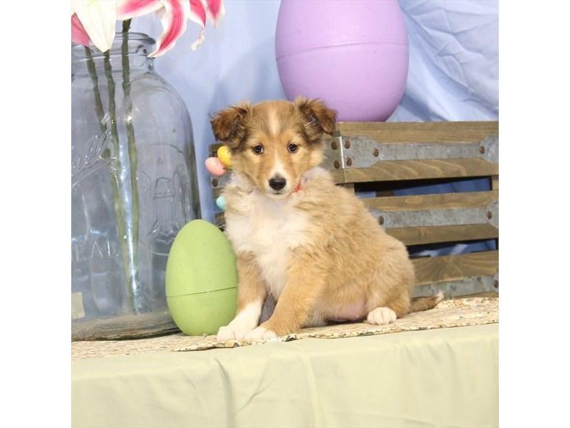 Shetland Sheepdog-Female-Sable / White-2335488-My Next Puppy