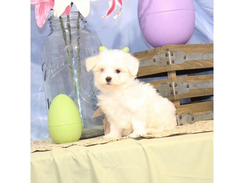 Maltese-Male-White-2335503-My Next Puppy