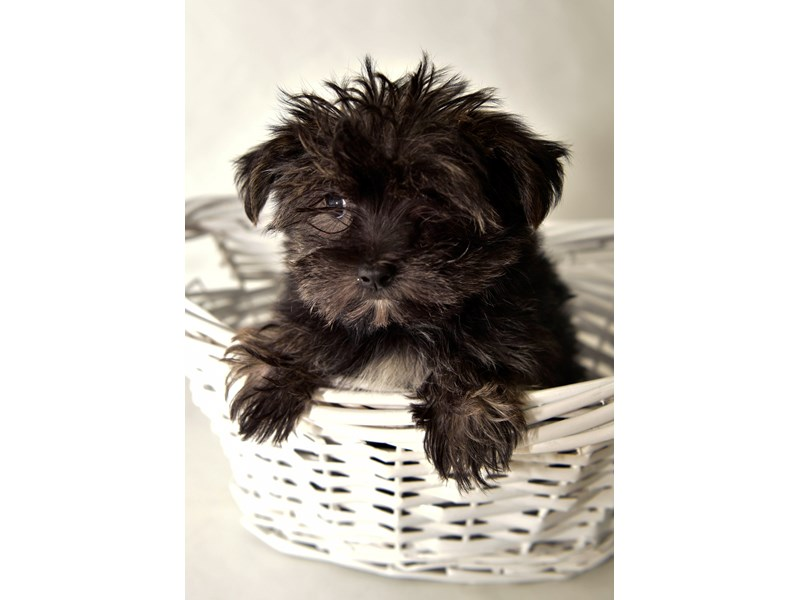 Morkie-Female-Brindle-White-2337046-My Next Puppy