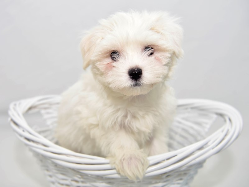 Maltese-Female-White-2335649-My Next Puppy