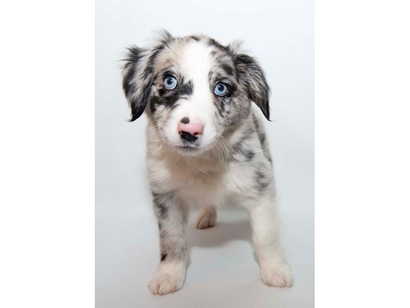 Mini Australian Shepherd-Male-Blue Merle-2340996-My Next Puppy