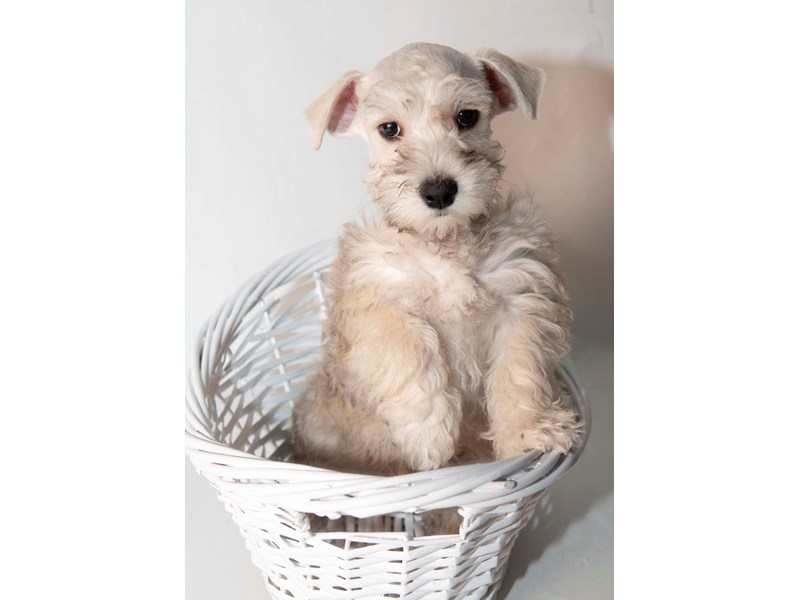 Mini Schnoodle-Male-SLT & PPR-2340281-My Next Puppy