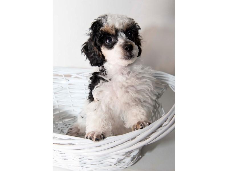 Miniature Poodle-Female-White Black / Tan-2341401-My Next Puppy