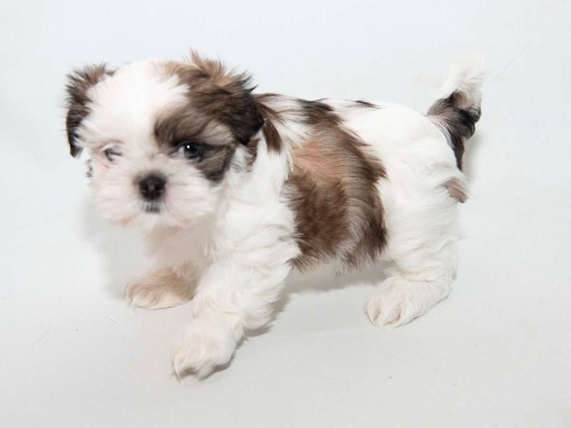 Shih Tzu-Female-White / Gold-2341001-My Next Puppy