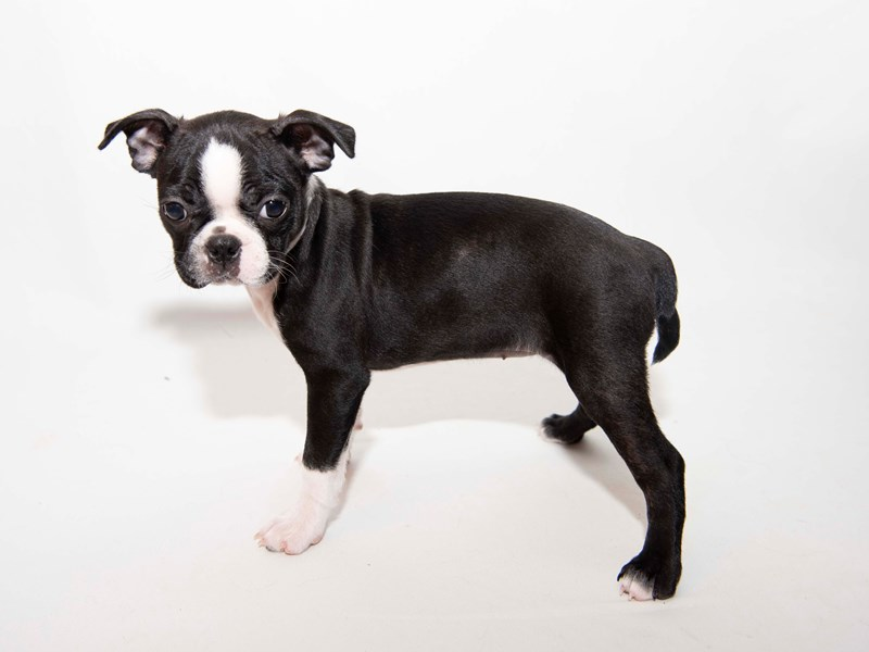 Boston Terrier-Female-Black Brindle-2340988-My Next Puppy