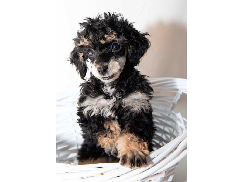 Miniature Poodle – Ziva