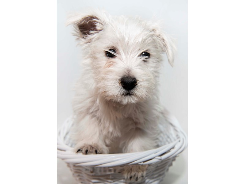 West Highland White Terrier – Toby
