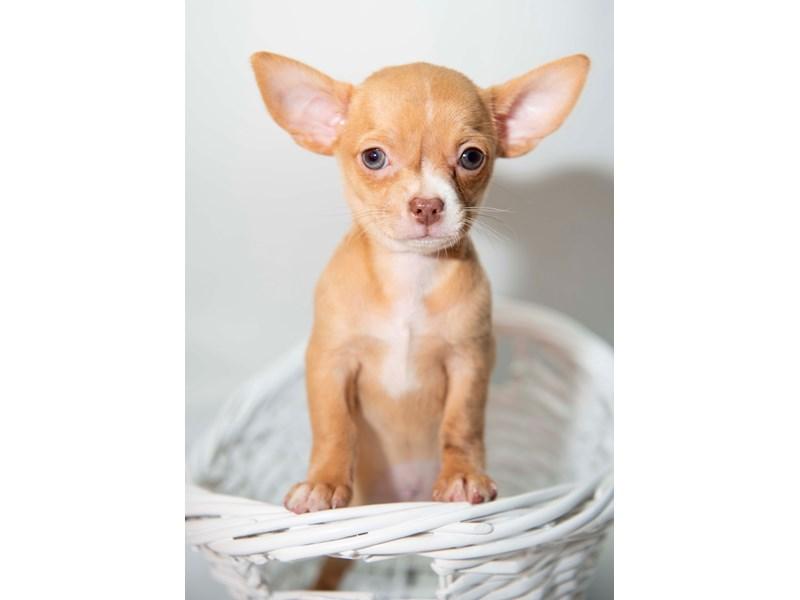 Chihuahua – Tyra