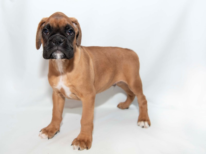 Boxer-Male-Fawn-2348243-My Next Puppy