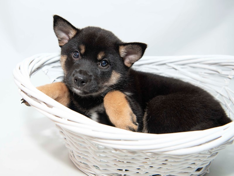 Shiba Inu-Female-Black / Tan-2348245-My Next Puppy