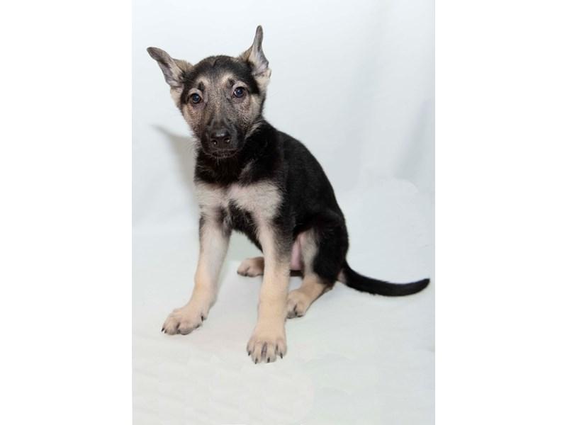 German Shepherd Dog – Jada
