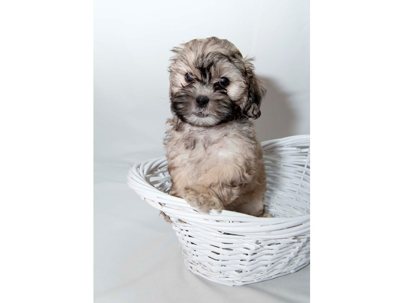 Poodle/Shih Tzu-Male-Gold-2348253-My Next Puppy