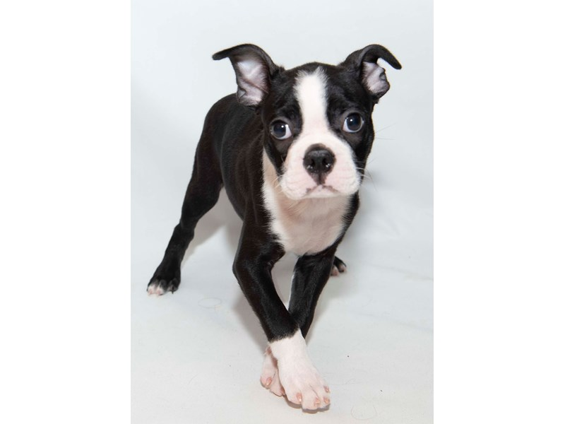 Boston Terrier-Male-Black Brindle-2340989-My Next Puppy