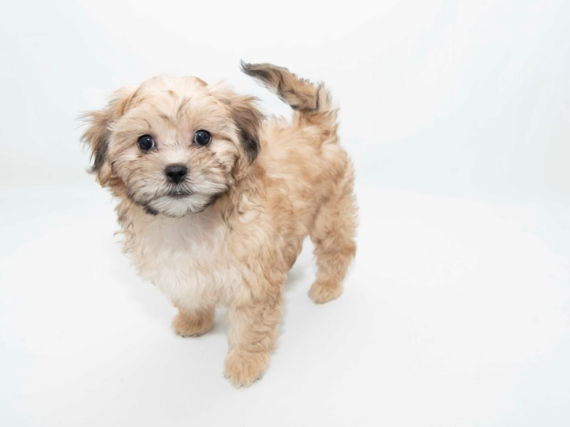 Shihpoo-Female-Gold-2341131-My Next Puppy