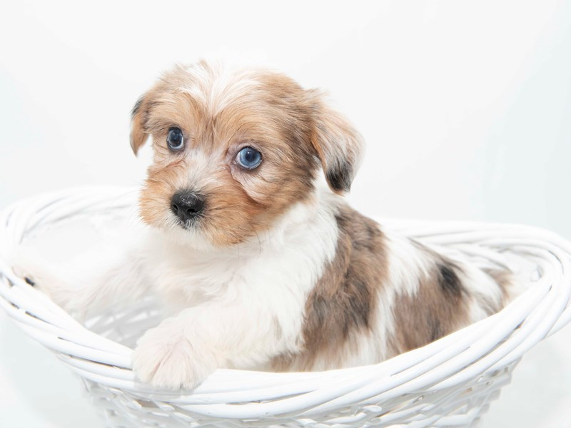 Yorkiepoo-Male-GLDN:PRTI-2351175-My Next Puppy