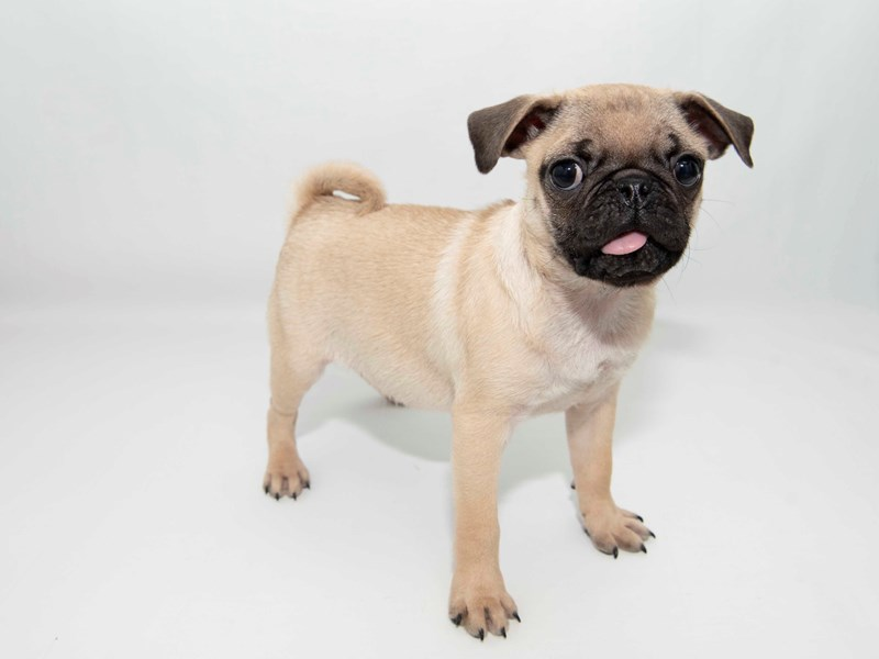 Pug-Male-Fawn-2326649-My Next Puppy