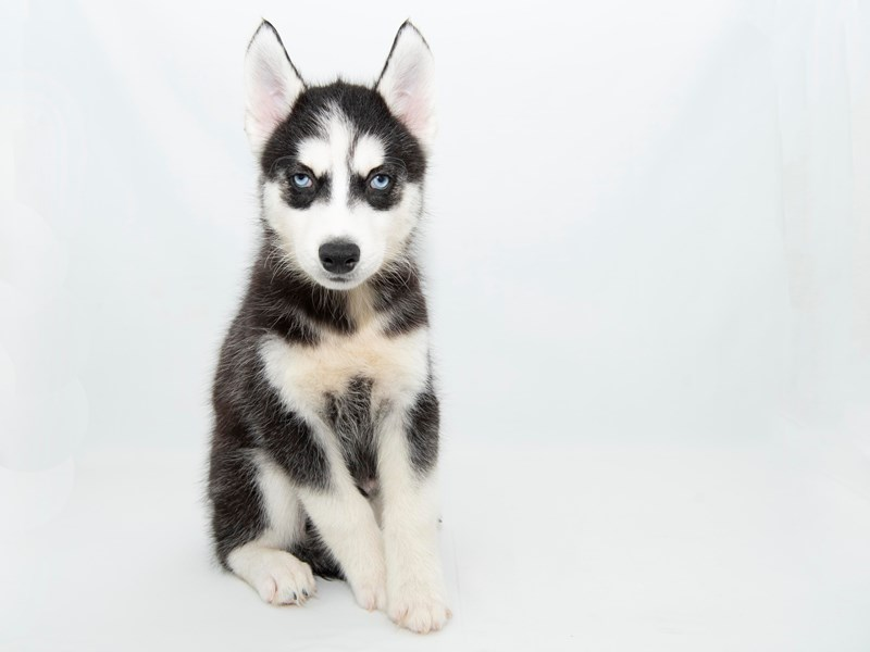 Siberian Husky-Male-Black / White-2351827-My Next Puppy
