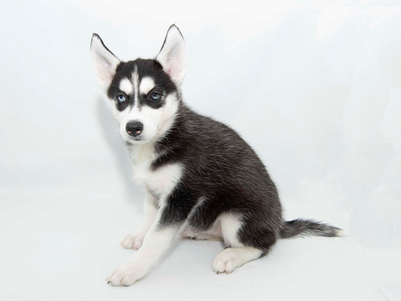 Siberian Husky-Female-Black / White-2351828-My Next Puppy