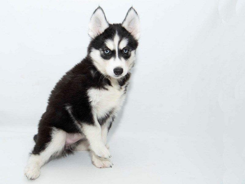 Siberian Husky-Female-Black / White-2351825-My Next Puppy