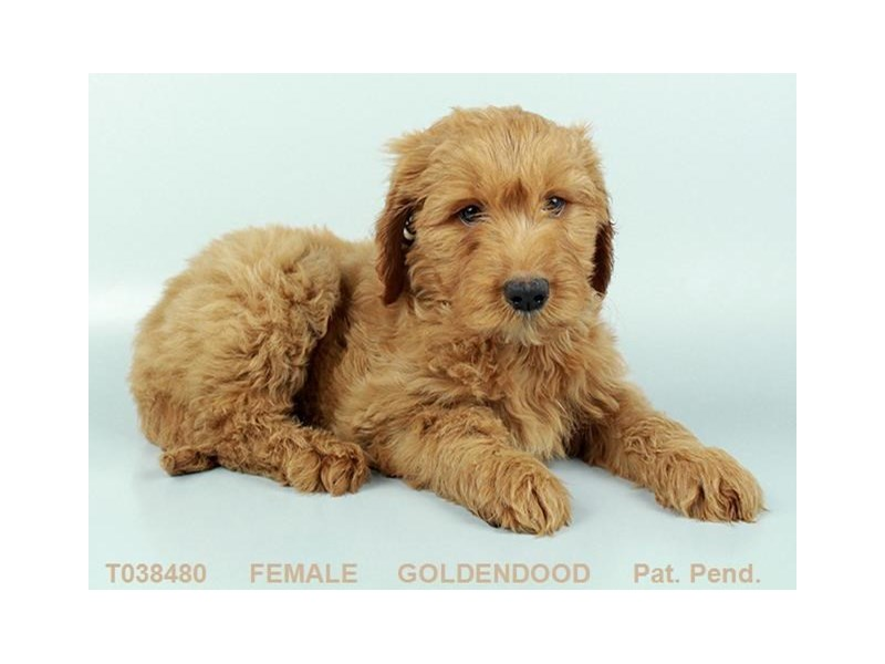 Goldendoodle-Female-RD-2359237-My Next Puppy