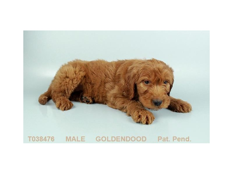 Goldendoodle-Male-RD-2359238-My Next Puppy