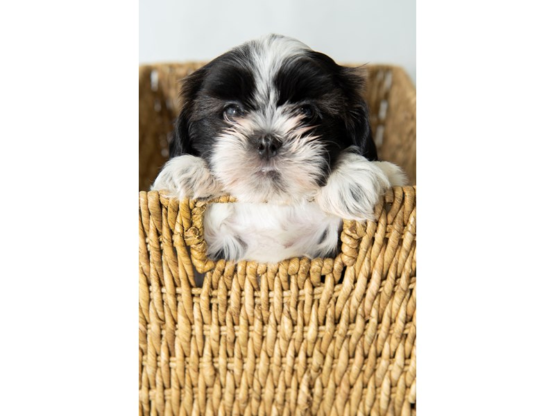 Shih Tzu-Male-White / Gold-2330652-My Next Puppy