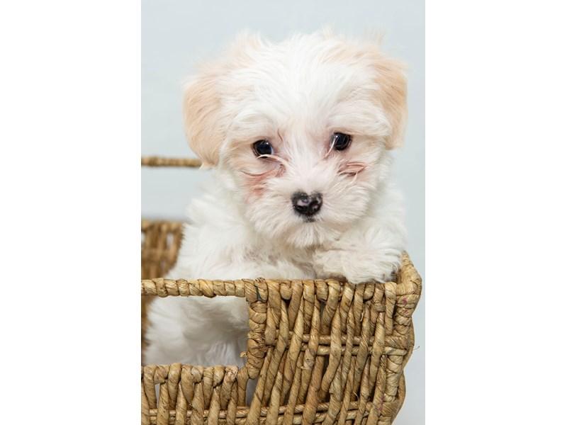 2nd Generation Morkie-Female-White / Cream-2330645-My Next Puppy
