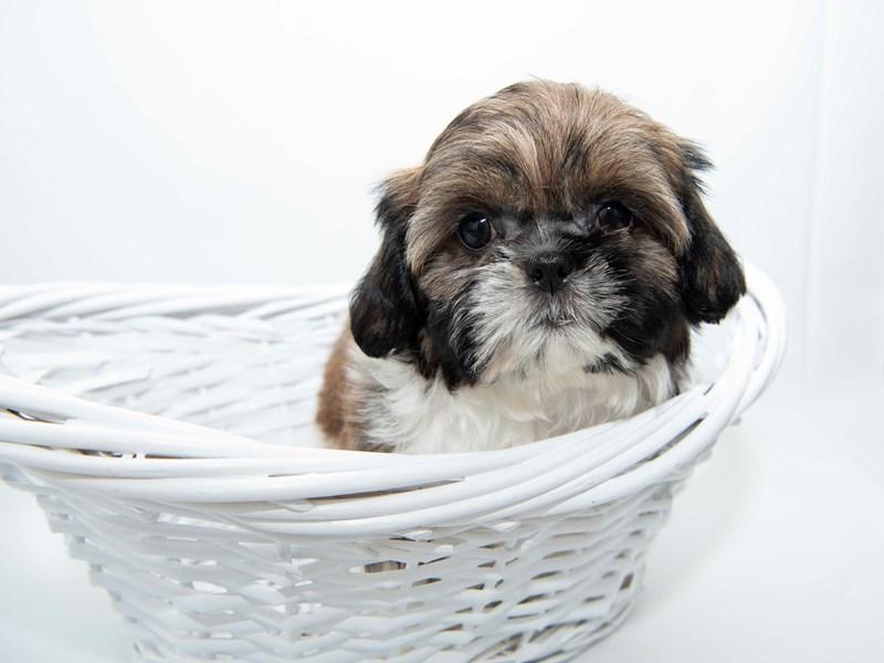 Shih Tzu-Female-Gold / White-2351862-My Next Puppy