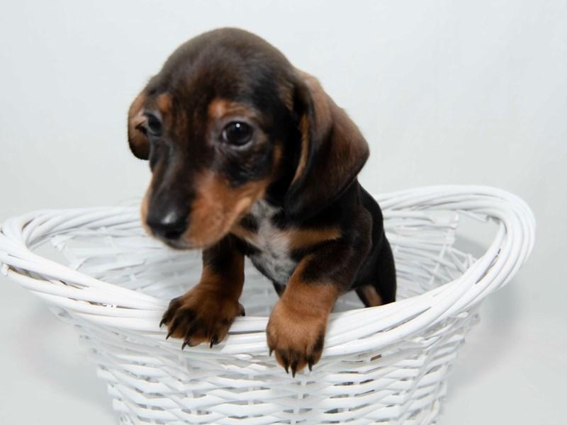 Dachshund-Male-Wild Boar-2351822-My Next Puppy