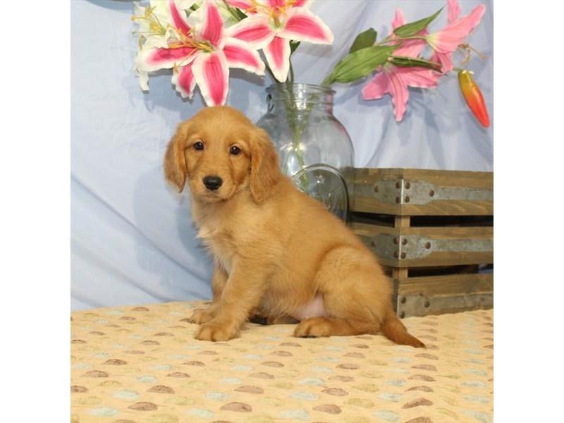 Golden Retriever-Female-Dark Golden-2356909-My Next Puppy