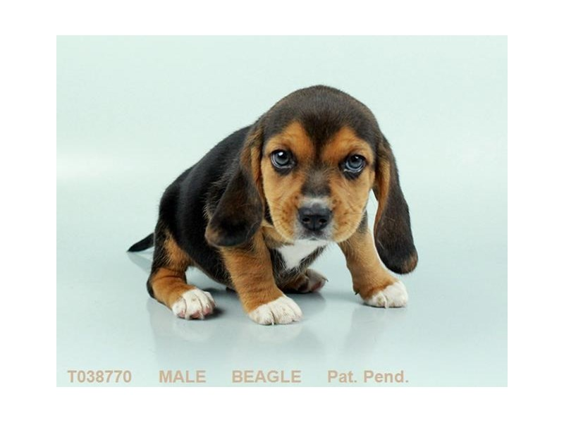 Beagle-Male-BLK WH & TN-2359234-My Next Puppy