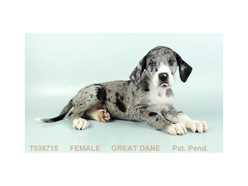 Great Dane-Female-MRL:WH MKGS-2359236-My Next Puppy