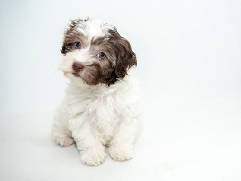 Havanese-Female-Chocolate - White-2364515-My Next Puppy