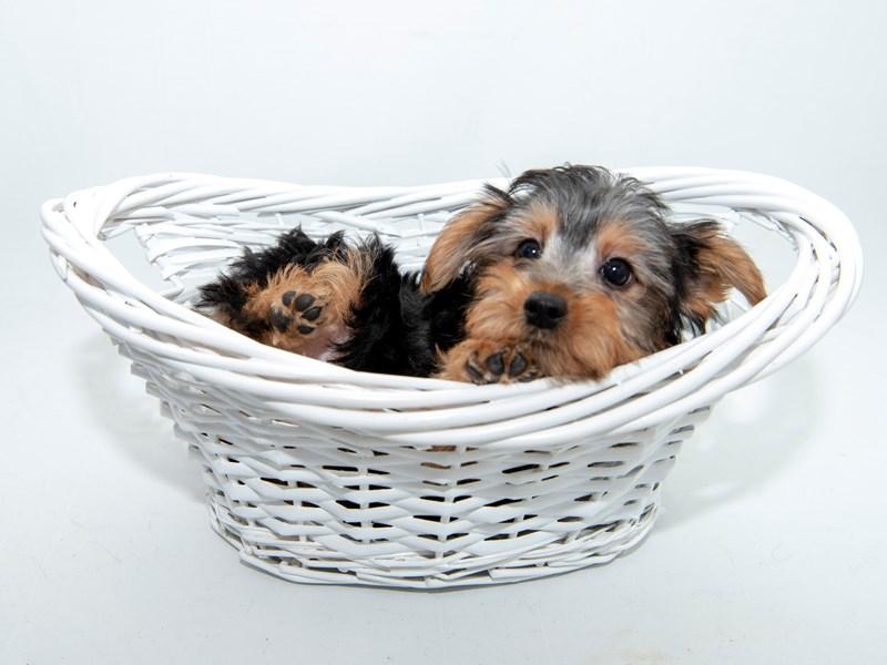 Yorkshire Terrier-Female-BLK & TN-2362065-My Next Puppy