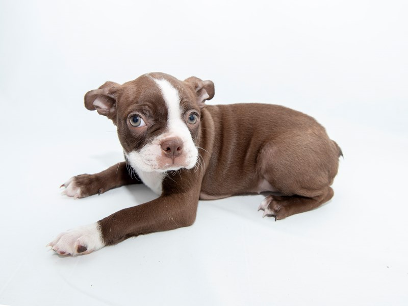 Boston Terrier-Female-SL & WH-2362067-My Next Puppy
