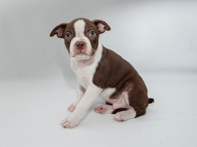 Boston Terrier-Male-SL & WH-2362069-My Next Puppy