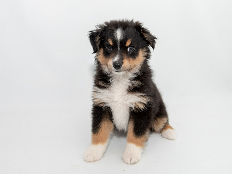 Australian Shepherd-Male-Black-2363135-My Next Puppy