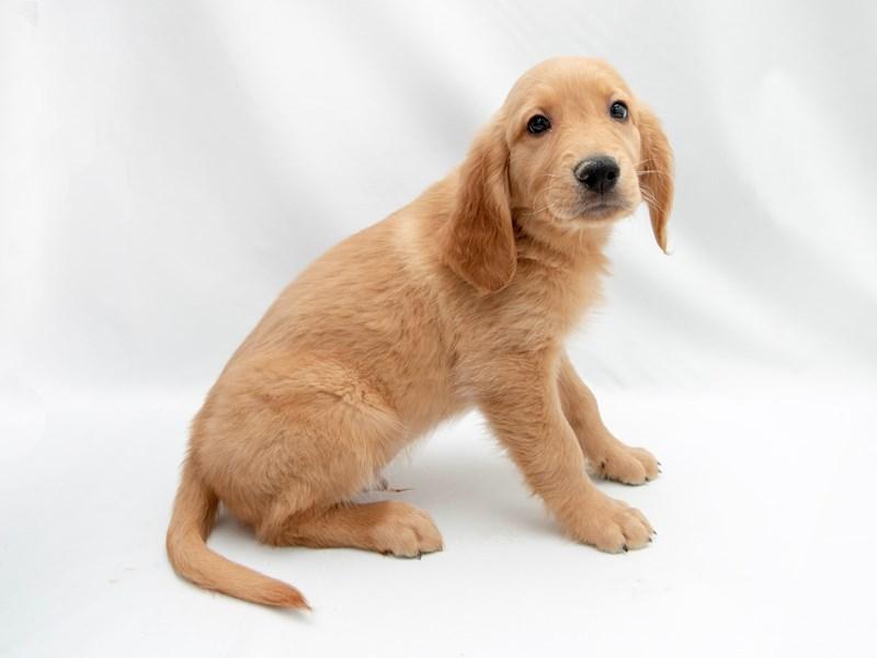 Golden Retriever-Male-Dark Golden-2363136-My Next Puppy