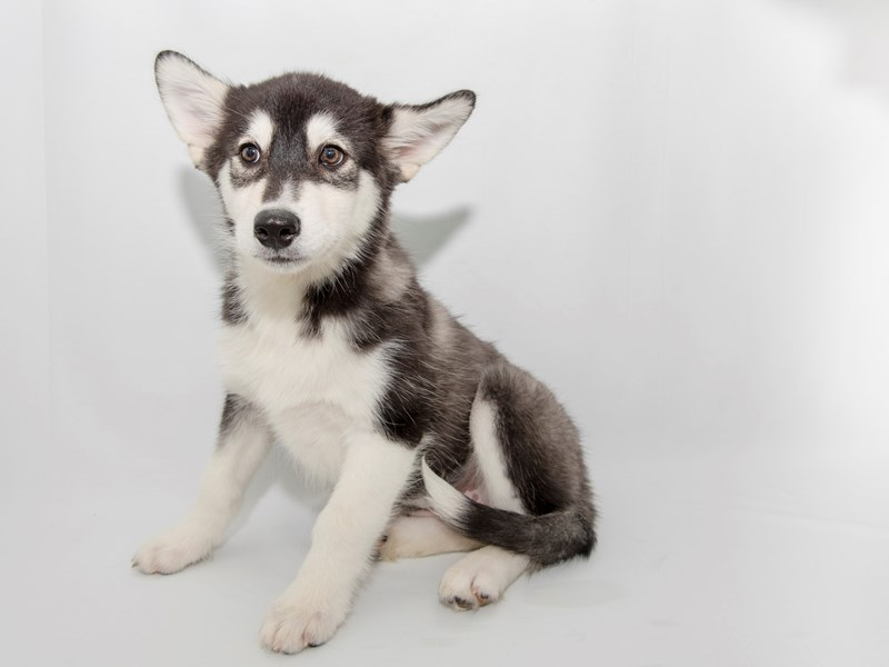 Alaskan Malamute-Female-Black / White-2363138-My Next Puppy