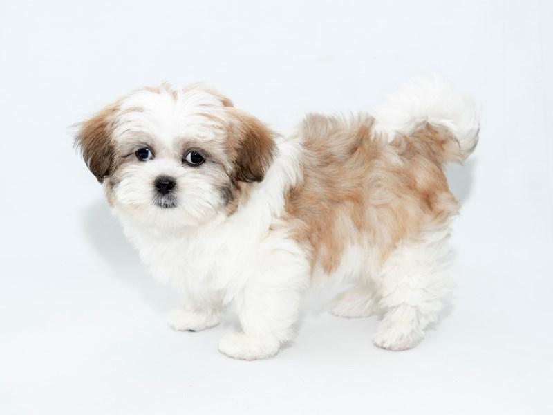Malshi-Female-White / Gold-2363168-My Next Puppy