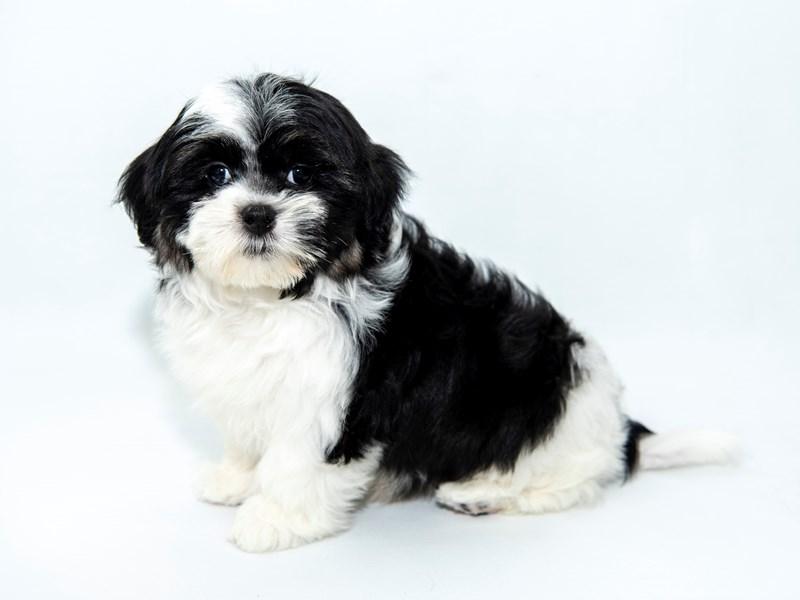 Malshi-Male-White Black / Tan-2363171-My Next Puppy
