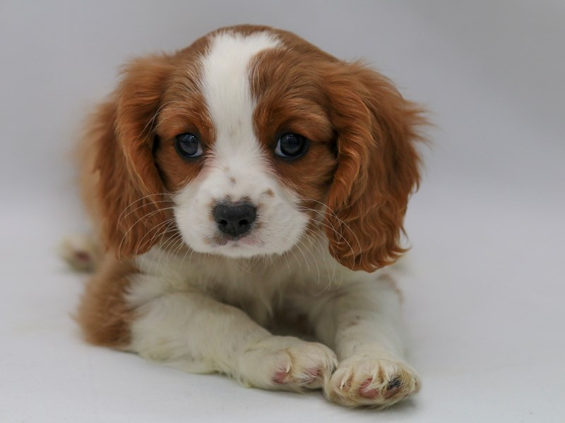 Cavalier King Charles Spaniel-Male-Blenheim / White-2370061-My Next Puppy