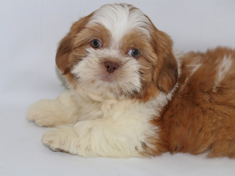 Shih Tzu-Male-White Chocolate Gold-2370055-My Next Puppy