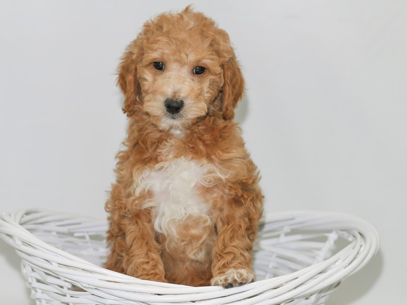 Mini Goldendoodle-Female-Red-2370059-My Next Puppy