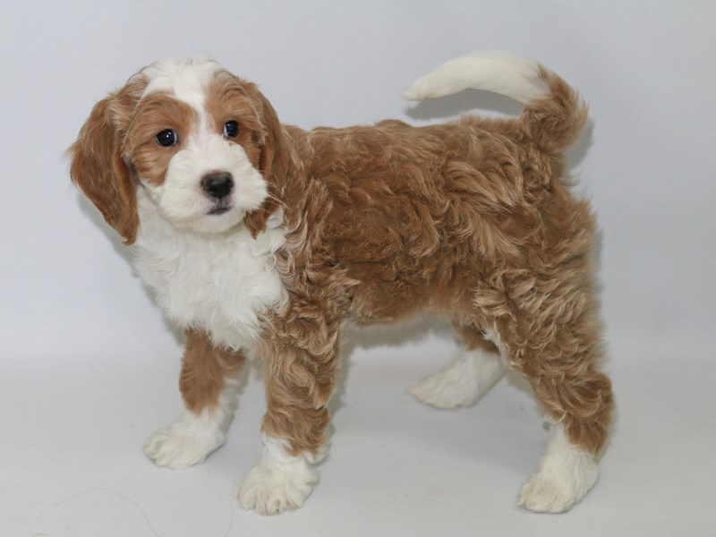 Mini Goldendoodle-Female-Red-2370058-My Next Puppy